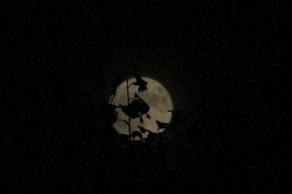 full moon hidden behind sharp edged leaves