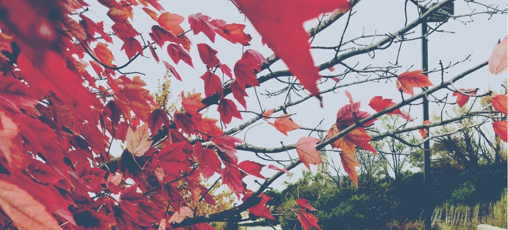Autumn leaves in a bright shade of red