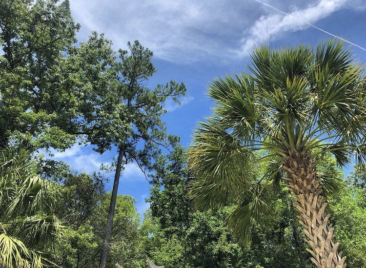 Green tree line with palm trees and tall pines against a bright blue summer sky