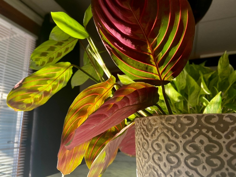 Base of red maranta plant dark maroon colored leaves with the sun cascading on them